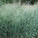5 LB. DACOTAH SWITCH GRASS seeds Panicum Virgatum pound