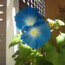 .5 Lb Morning Glory HEAVENLY BLUE Seeds Ipomoea Tricolor aka Violacea