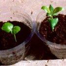 2 g. VOACANGA AFRICANA 45-50 seeds