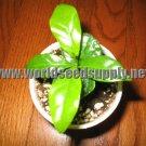 25 COFFEA CATURA beans DWARF ARABICA COFFEE plant seeds