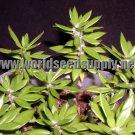 Pereskiopsis Spathulata Cutting- THE #1 grafting cactus