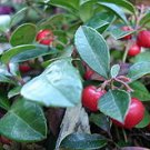 40 Creeping WINTERGREEN SEEDS Gaultheria Procumbens