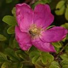 25 ROSA CANINA flower seeds *DOG ROSE ~ Grow ROSE HIPS