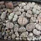 1000 MIXED LITHOPS seeds LIVING STONES ~BULK