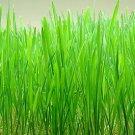 1 oz. WHEATGRASS SEEDS *Wheat Grass* Triticum Aestivum -