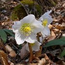 10 HELLEBORE seeds * HELLEBORUS NIGER ~ Christmas Rose