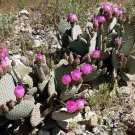 100 OPUNTIA BASILARIS- Beavertail Prickly Pear- Cactus seeds