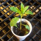6000+ EPAZOTE Chenopodium Ambrosoides seeds- Mayan Herb