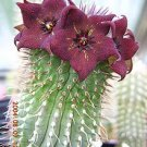 20 Hoodia Ruschii Seeds ~ Succulent- Gordonii cousin