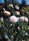 1000 *WHITE CLOUD* PEONY POPPY seeds Papaver dbl flower