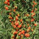 100 HIMALAYAN GOJI BERRY seeds Wolfberry **SUPERFRUIT** Lycium Chinense