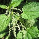 6000 STINGING NETTLE seeds URTICA DIOICA -Arthritis herb