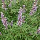 20 VITEX ANGUS CASTUS seeds- CHASTE BERRY TREE berries