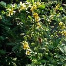 25 AGRIMONY seeds Analgesic Sleep AGRIMONIA EUPATORIA -