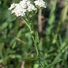 3,000 WHITE YARROW- Achillea Millefolium- HERB SEEDS