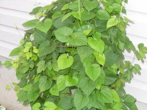 20 Humulus Lupulus- HOPS seeds- BREW your own BEER