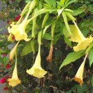 YELLOW BRUGMANSIA Suaveolens 5 seeds - Golden ANGEL TRUMPET!