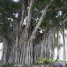 50 Ficus Benghalensis SACRED BANYAN TREE seeds - BONSAI