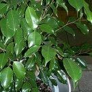 50 Ficus Benjamina WEEPING FIG TREE seeds BONSAI