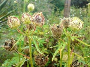 100 KENAF seeds - BROWN INDIAN HEMP- Hibiscus Cannabinus