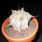 100 ASTROPHYTUM ORNATUM Showy Monk's Hood Cactus seeds