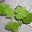 10 Jatropha Curcas seeds BIODIESEL Fuel **CASH CROP**