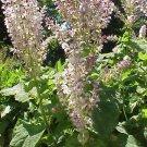 40 Salvia Sclarea CLARY SAGE seeds- aromatic medicinal herb
