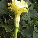 100 Datura Metel DOUBLE YELLOW seeds - golden blooms!!