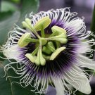 PASSIFLORA EDULIS FLAVICARPA 25 Yellow Passionfruit seeds Passion Fruit