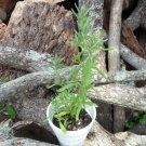 1000 Lavandula Angustifolia ENGLISH LAVENDER herb seeds