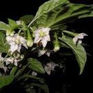 50 PEPPER MIX assorted Capsicum species: Naga, Tepin & more