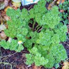 1000+ FOREST GREEN PARSLEY- Curly-leaf Herb seeds
