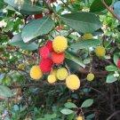 (50) Arbutus Unedo (Irish) *STRAWBERRY TREE* SEEDS fruit
