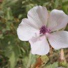50 MARSHMALLOW SEEDS Althaea Officinalis  -Medicinal Herb