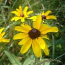 22,000 BLACK-EYED SUSAN SEEDS- Rudbeckia Hirta -Wildflower