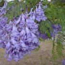 30 JACARANDA MIMOSIFOLIA SEEDS Black Poui Tree
