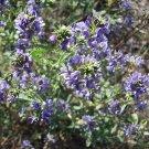 1 oz. Medicago Sativa ALFALFA SEEDS- sprouting legume
