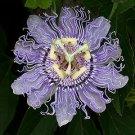 Passiflora Incarnata PURPLE PASSION FLOWER 18 seeds
