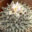 50 Living Rock ARIOCARPUS RETUSUS- seeds