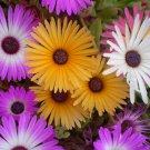 500 Dorotheanthus Bellidiformis Mesemb succulent seeds