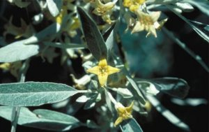 10 RUSSIAN OLIVE TREE seeds - Eleagnus Angustifolia
