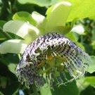 25 Passiflora Actinia seeds SEA ANEMONE PASSION FLOWER