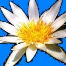 100 Nymphaea Ampla WHITE Dotleaf WATER LILY SEEDS Lotus