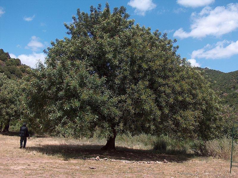 5 CAROB TREE SEEDS- St. John's Bread - Edible Biblical Shrub - CERATONIA SILIQUA