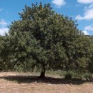 5 CAROB TREE SEEDS- St. John's Bread - Edible Biblical Shrub - CERATONIA SILIQUA