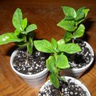 1 LIVE Coffea Arabica COFFEE PLANT seedling- Grow Coffee beans at home