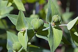 1/4 oz. Euphorbia Lathyris (Mole Plant)- Spurge -BULK SEED DEAL