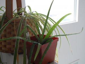 ALOE ORNAMENTAL /MEDICINAL MIX 20 Succulent Seeds vera