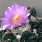100 ARIOCARPUS FISSURATUS v HINTONII Living Rock seeds