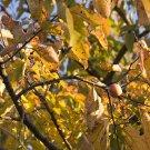 10 AMERICAN PERSIMMON Fruit Tree seeds Diospyros Virginiana